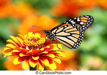 Monarch Butterfly - Beautiful Monarch butterfly on a garden...