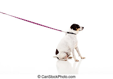 dog with chain isolated