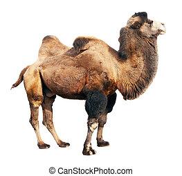 bactrian, camelo, sobre, branca, fundo