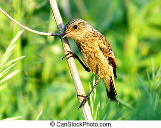 Stonechat sits on a dry branch