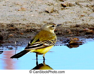 Yellow Wagtail - Yellow Wagtail is drinking water from...