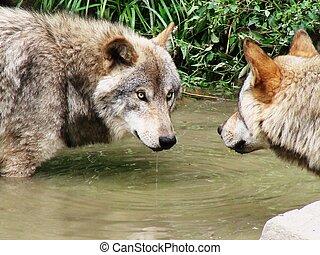 Mirror Mirror - 2 wolves