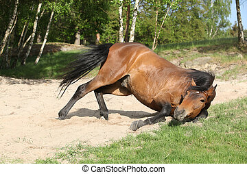 Brown horse rolling in the sand in hot summer - Nice brown...