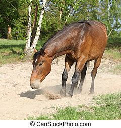 Brown horse lying down in the sand in hot summer - Nice...