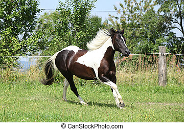 Paint horse running on pasturage in front of some trees