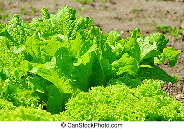 leaf lettuce in garden 01
