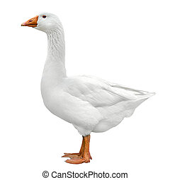 Domestic goose isolated on white - Bright shot of a white...