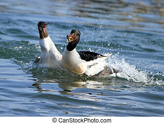Fight for food - Goosander males fighting for a piece of...