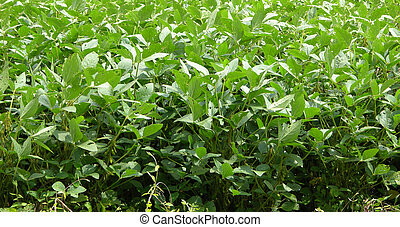 Soybean plant seen up close in the field