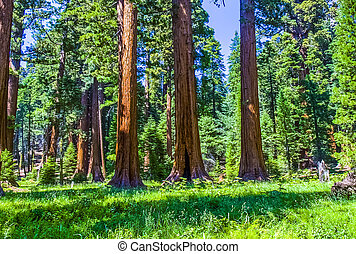 sequoia tree in the forest - the famous big sequoia trees...