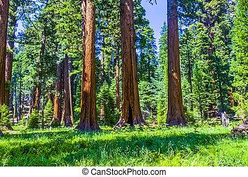 secoya, árbol, bosque