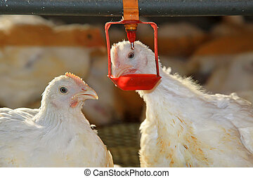 Two chickens are drinking water, in a chicken farm, north...