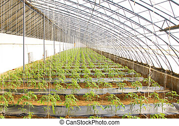 tomato Seedling in a green house on a farm, north china