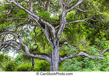 Towering Branches of Hybrid Live Oak Tree Named Quercus x...