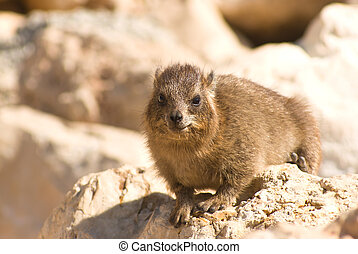 Procavia capensis sitting on a rock