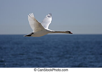 white swan - A flying white swan with the ocean in the...
