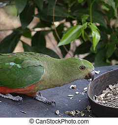 female king parrot Alisterus scapularis - female king parrot...