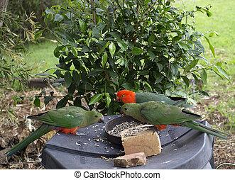 king parrots Alisterus scapularis