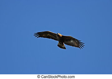 Golden eagle - Aquila chrysaetos - A golden eagle at its...