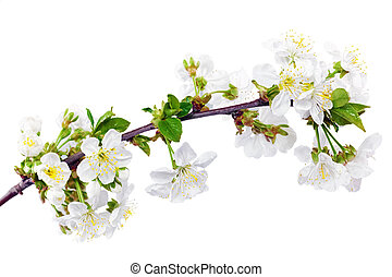 Branch of sprig with blossoms. Isolated on white background....