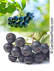 Black choke berry