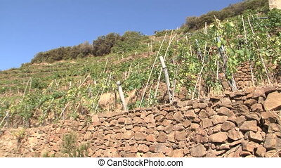 Sciachetr? vineyards in the Cinque Terre (Five Lands)...