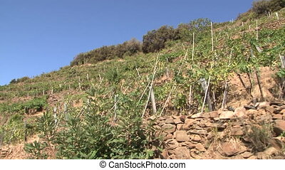 Sciachetr vineyards in the Cinque Terre Five Lands National...