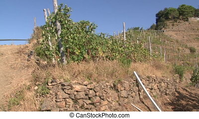 Rows of Sciachetr grapevines in the Cinque Terre Five Lands...
