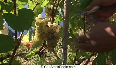 Harvesting of grapes at the Sciachetr vineyards in the...