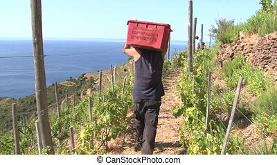 Harvesting of grapes - Worker carrying away a full basket of...