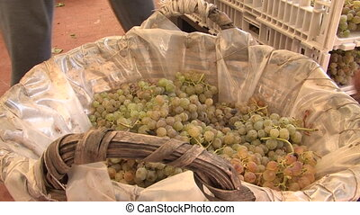 Selection of grapes for dehydration - Freshly harvested...