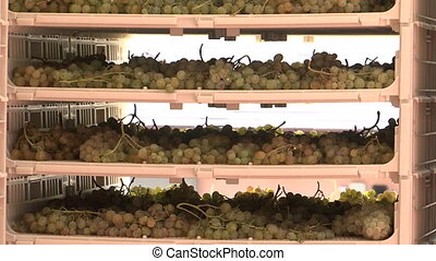Grapes dehydrating on racks in preparation to make wine....