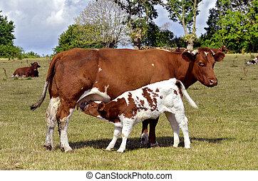 Calf suckling - Brown cow and calf suckling in a prairie,...