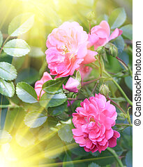 Brightly pink roses across from sunlight