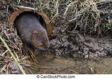 Water Vole Arvicola amphibiuslooking out of a hole