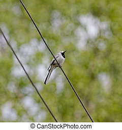Wagtail on a wire against green foliage