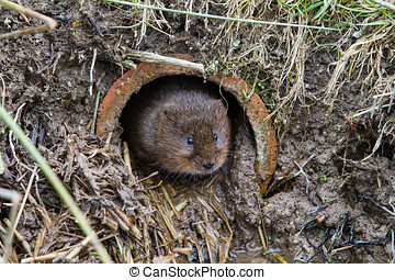 Water Vole ( Arvicola amphibius)looking out of a hole