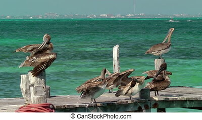 Pelicans on Pier - Group of pelicans preening on wooden dock...