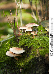 Mushroom in the forest at autumn - A group of light brown...