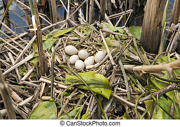 Birds nest with six eggs in its natural habitat