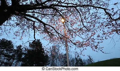 Cherry Blossom and a lamp post