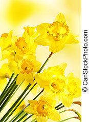 Yellow daffodils over blurry background