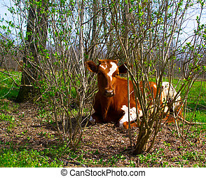 a young calf in nature