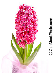 beautiful hyacinth - one beautiful hyacinth on white...
