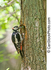 Great Spotted Woodpecker - Dendrocopos major Great Spotted...