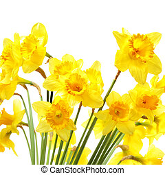 Yellow daffodils isolated over the white background