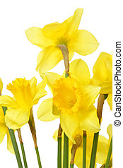 Narcissuses - Yellow narcissuses isolated over the white...