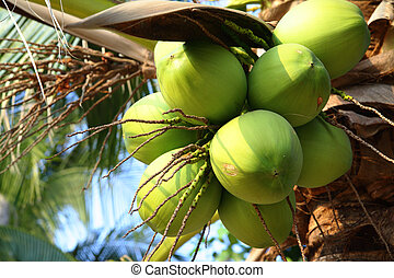 Coconuts - Clusters of coconuts close-up hanging on palm...
