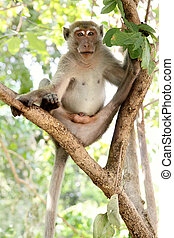 Macaque (rhesus monkey) sitting on the tree