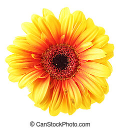 Yellow gerber - Yellow daisy flower isolated over white...